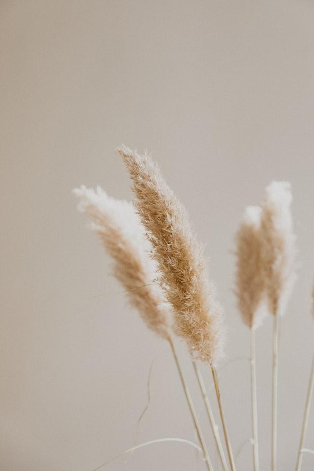 trois brins d'herbe de pampa
