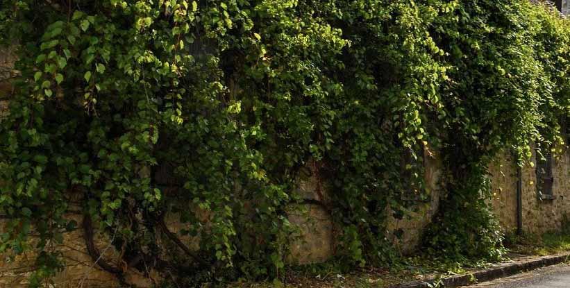 Du lierre qui recouvre un vilain mur